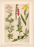 Magyar növények 2, litográfia 1903, színes nyomat, virág, zsálya, veronika, nőszirom, dákoska (3)