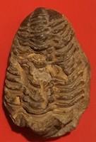 Tribolita Háromkarájú ősrák