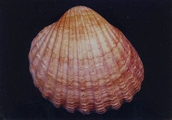 1B991 Művészi fotográfia : Shell kagyló