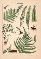 Királyharaszt, kigyónyelv, térképzuzmó, cikász és páfrány, litográfia 1885, 21 x 30 cm, eredeti
