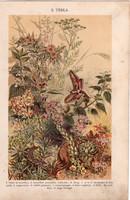 Növények (3), litográfia 1904, színes nyomat, magyar, természetrajz, növény, ebtejlepke, úticsiga
