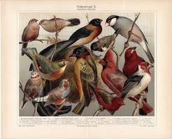 Szobamadarak, litográfia 1907, színes nyomat, eredeti, német, házi, madár, zebrapinty, külföldi