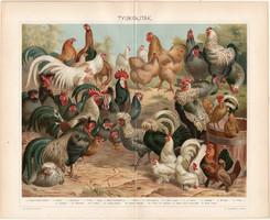 Tyúkfajták, 1898, litográfia, színes nyomat, eredeti, magyar nyelvű, tyúk, kakas, törpetyúk, régi