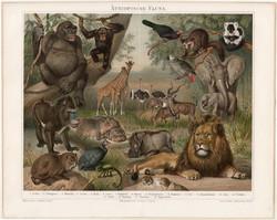 Afrikai állatvilág, litográfia 1894, német nyelvű, eredeti, színes nyomat, Afrika, Etióp, oroszlán