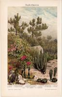 Növények, Euphorbia, színes nyomat 1905, német nyelvű, litográfia, növény, virág, kaktusz, régi