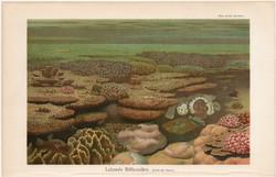 Élő korallzátony, színes nyomat 1906, német nyelvű, eredeti, litográfia, korall, tenger, óceán, régi