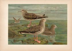 Heringsirály (3), litográfia 1897, eredeti, 28 x 40 cm, nagy méret, madár, Európa, nyomat, sirály