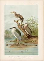Bakcsó (2), litográfia 1897, eredeti, 29 x 39, nagy méret, madár, nyomat, vakvarjú, Nycticorax Nyc.