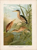 Törpegém (2), litográfia 1897, eredeti, 29 x 40 cm, nagy méret, madár, színes nyomat, gém, Ardetta