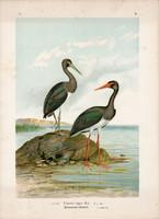 Fekete gólya (4), litográfia 1897, eredeti, 29 x 39 cm, nagy méret, madár, nyomat, Ciconia nigra