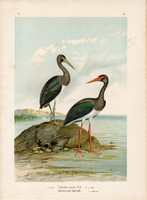 Fekete gólya (5), litográfia 1897, eredeti, 29 x 39 cm, nagy méret, madár, nyomat, Ciconia nigra