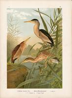 Törpegém (3), litográfia 1897, eredeti, 29 x 40 cm, nagy méret, madár, színes nyomat, gém, Ardetta