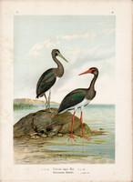 Fekete gólya (2), litográfia 1897, eredeti, 29 x 39 cm, nagy méret, madár, nyomat, Ciconia nigra