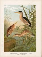 Törpegém (4), litográfia 1897, eredeti, 29 x 40 cm, nagy méret, madár, színes nyomat, gém, Ardetta