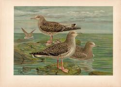 Heringsirály (1), litográfia 1897, eredeti, 28 x 40 cm, nagy méret, madár, Európa, nyomat, sirály