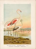 Rózsás flamingó (1), litográfia 1897, eredeti, 29 x 39, nagy méret, madár, nyomat, Phoenicopterus