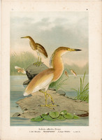 Üstökösgém (3), litográfia 1897, eredeti, 29 x 39, nagy méret, madár, nyomat, gém, Ardeola ralloides