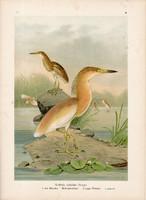 Üstökösgém (5), litográfia 1897, eredeti, 29 x 39, nagy méret, madár, nyomat, gém, Ardeola ralloides