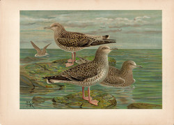 Heringsirály (5), litográfia 1897, eredeti, 28 x 40 cm, nagy méret, madár, Európa, nyomat, sirály