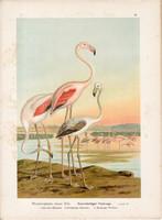 Rózsás flamingó (4), litográfia 1897, eredeti, 29 x 39, nagy méret, madár, nyomat, Phoenicopterus