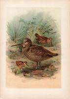 Erdei szalonka (5), litográfia 1897, eredeti, 29 x 39, nagy méret, madár, nyomat, Scolopax rusticola