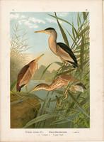 Törpegém (5), litográfia 1897, eredeti, 29 x 40 cm, nagy méret, madár, színes nyomat, gém, Ardetta