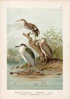 Bakcsó (3), litográfia 1897, eredeti, 29 x 39, nagy méret, madár, nyomat, vakvarjú, Nycticorax Nyc.