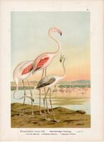 Rózsás flamingó (5), litográfia 1897, eredeti, 29 x 39, nagy méret, madár, nyomat, Phoenicopterus