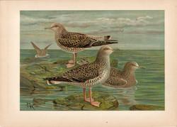 Heringsirály (4), litográfia 1897, eredeti, 28 x 40 cm, nagy méret, madár, Európa, nyomat, sirály