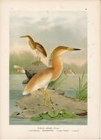Üstökösgém (2), litográfia 1897, eredeti, 29 x 39, nagy méret, madár, nyomat, gém, Ardeola ralloides