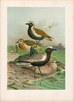 Aranylile, ezüstlile (1), litográfia 1897, eredeti, 29 x 39, nagy méret, madár, nyomat, ujjaslile