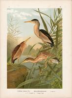 Törpegém (1), litográfia 1897, eredeti, 29 x 40 cm, nagy méret, madár, színes nyomat, gém, Ardetta
