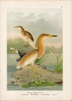 Üstökösgém (1), litográfia 1897, eredeti, 29 x 39, nagy méret, madár, nyomat, gém, Ardeola ralloides