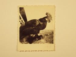 Régi fotó fénykép - Kakas, állat, TSZ termelőszövetkezet, mezőgazdaság - 1950-es évek