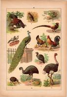 Állatok (18), litográfia 1902, eredeti, kis méret, magyar, állat, madár, fajd, fácán, páva, strucc