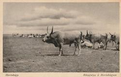 Régi képeslap, Hortobágy - Bikagulya a Hortobágyon