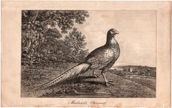 Fácán, rézmetszet 1805, metszet, eredeti, 10 x 16, állat, madár, Morland's pheasant, vad