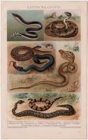 Mérges kigyók, litográfia 1893, színes nyomat, német nyelvű, Brockhaus, kigyó, kobra, vipera, állat