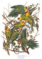 Zöld-sárga karolinai papagájok madaras nyomat, J. J. Audubon Amerika madarai 1826-38 vintage reprint