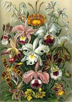Orchidea színes egzotikus trópusi virágok Ernst Haeckel 1904 vintage botanikai illusztráció reprint
