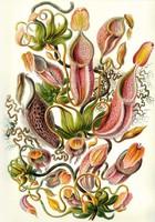 Kancsóka kancsóvirág egzotikus trópusi növény Haeckel 1904 vintage botanikai illusztráció reprint