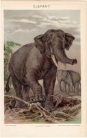 Elefánt, litográfia 1894, színes nyomat, eredeti, magyar, Pallas, állat, lexikon melléklet, agyar