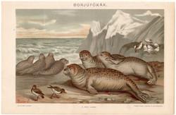 Borjúfókák, litográfia 1894, színes nyomat, eredeti, magyar, Pallas, állat, óceán, fóka
