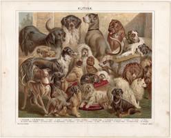Kutyák, 1896, litográfia, színes nyomat, eredeti, magyar nyelvű, kutya, uszkár, agár, vizsla, pincsi