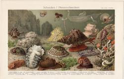 Tengeri csigák, színes nyomat 1896, német nyelvű, litográfia, eredeti, tenger, csiga, óceán