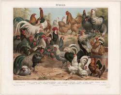 Tyúkok, színes nyomat 1896, német nyelvű, litográfia, eredeti, tyúk, fajta, madár, kakas, olasz