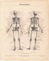Az ember csontváza I., litográfia 1898, színes, eredeti, anatómia, gyógyászat, csontváz csont, borda