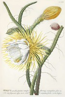 Kaktusz fehér sárga virág bimbó termés gyümölcs tüske G.Ehret Antik botanikai illusztráció reprint