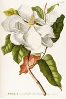 Magnólia 2. fehér virág hajtás zöld levelek dísznövény G.Ehret Antik botanikai illusztráció reprint