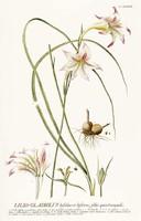 Fehér cirmos liliom virág hagymás kerti dísznövény G.Ehret Antik botanikai illusztráció reprint